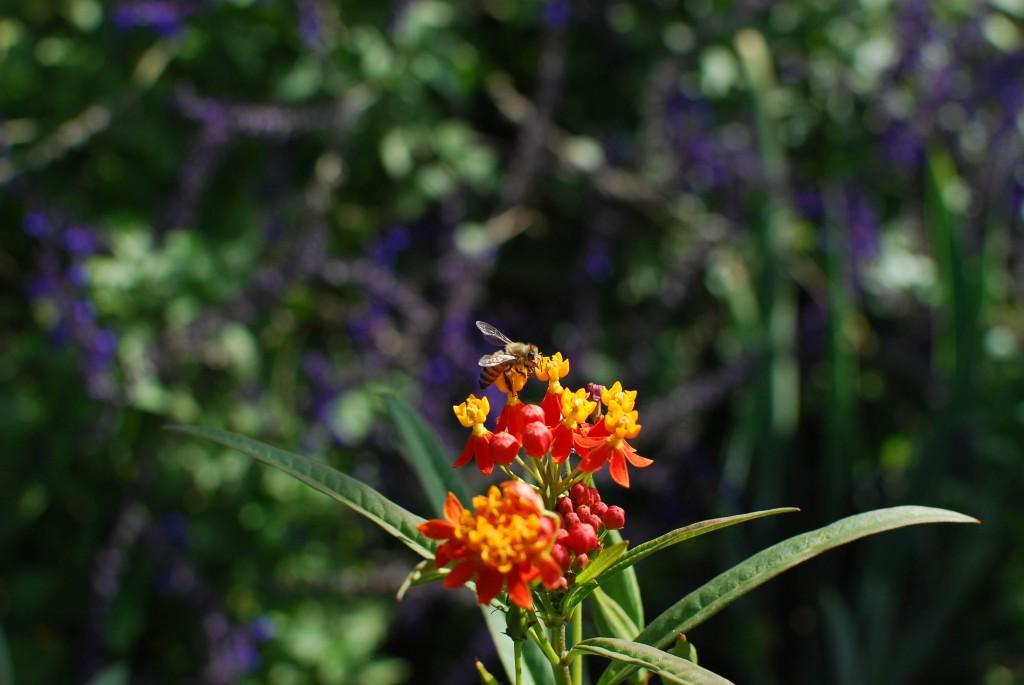 Kim Schlossberg photo of milkweed with honey bee, taken at P.O.P Garden
